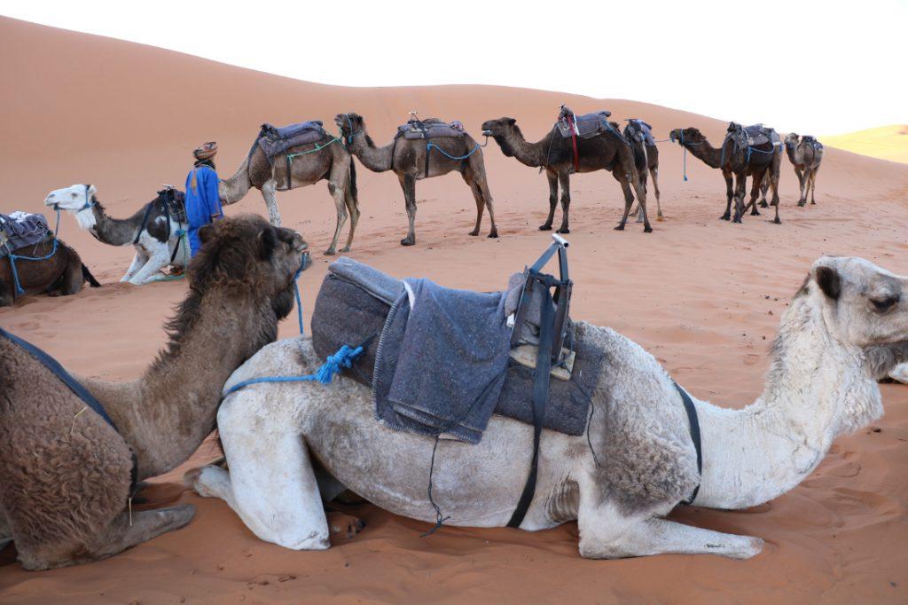 Marokko Merkmale Kamele