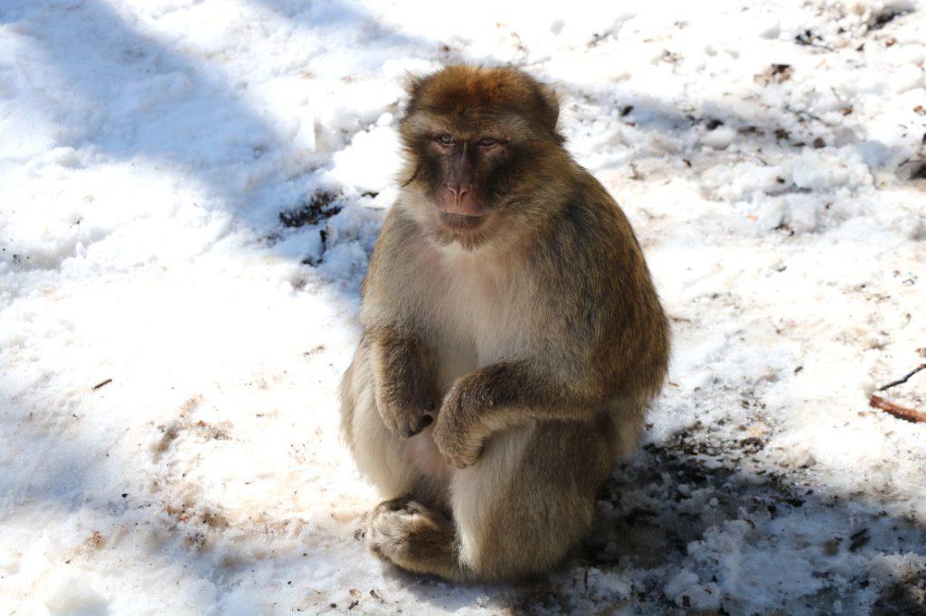 Highlight Marokko Affen im Schnee