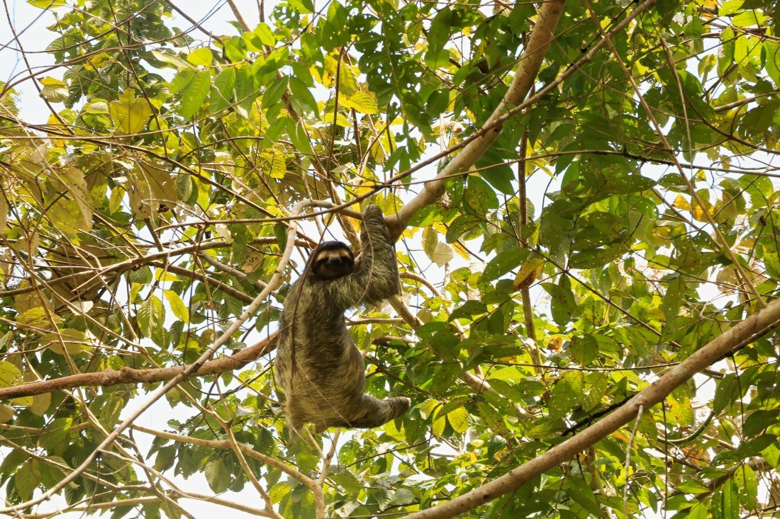 Soberania Nationalpark Panama Faultier